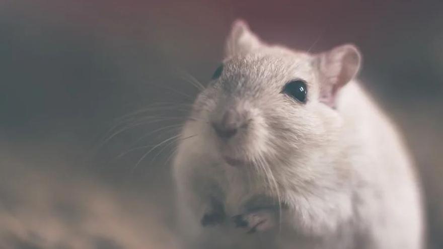 La variant Beta pot infectar també ratolins, a diferència del virus original