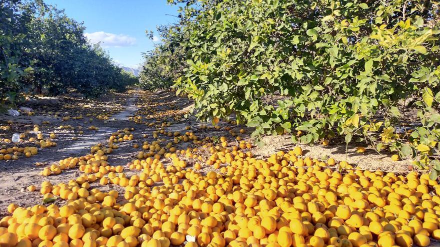 El cierre de la hosteleria en España y resto de Europa hunde la campaña del limón en la provincia