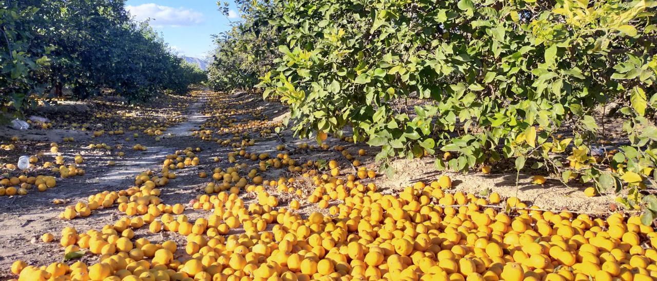 Limones sin recoger en una explotación agrícola de la provincia
