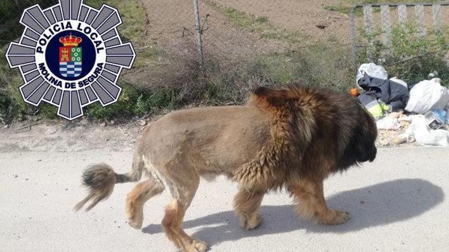 Vecinos de un pueblo de Murcia avisan de un león suelto que resultó ser un perro