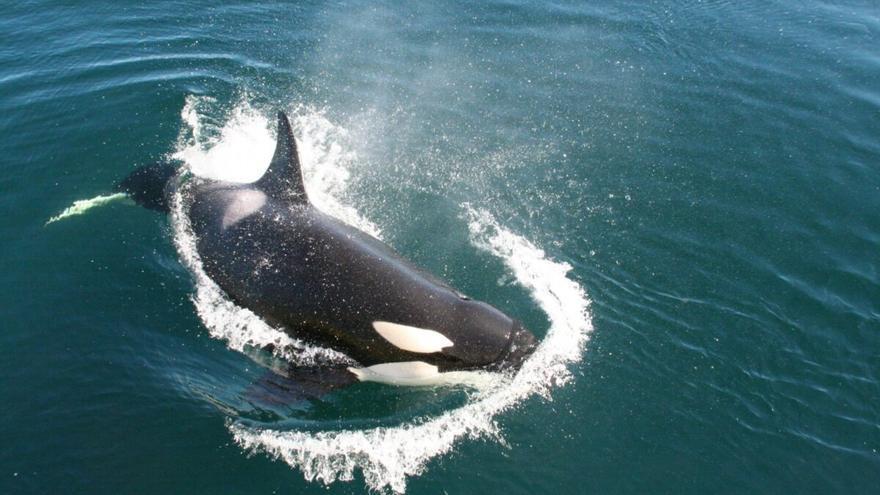 ¿Qué pasa con las orcas en Gibraltar?