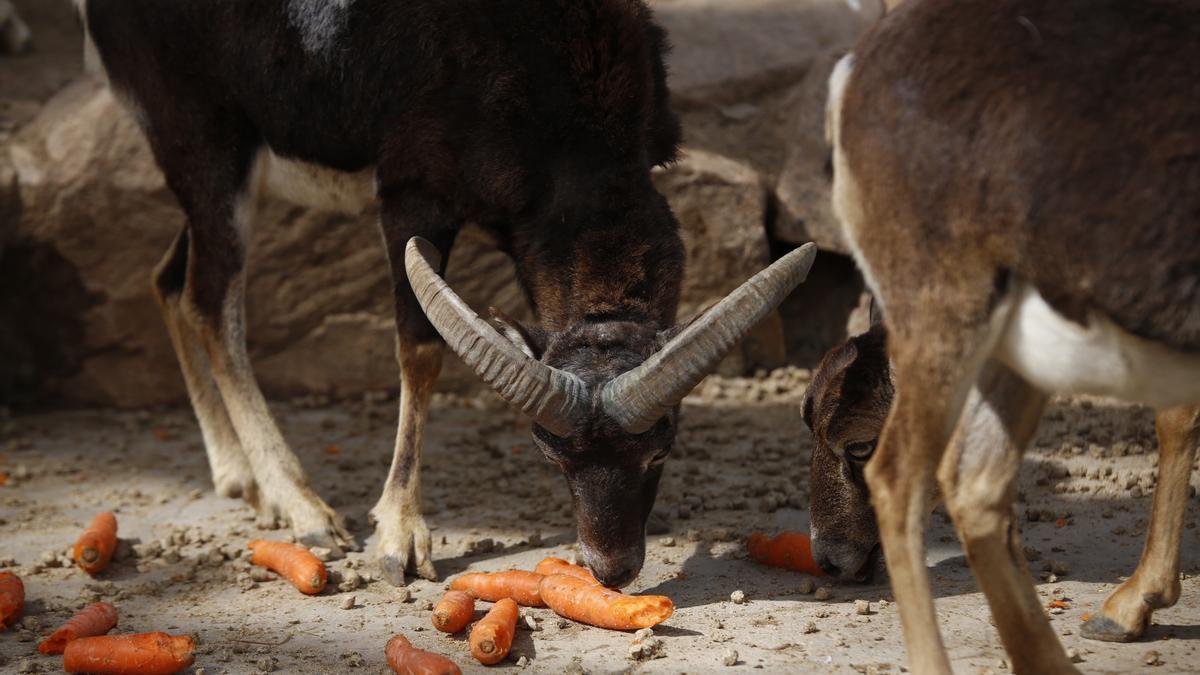 Cabras montesas comen zanahorias, una de las claves de su dieta.