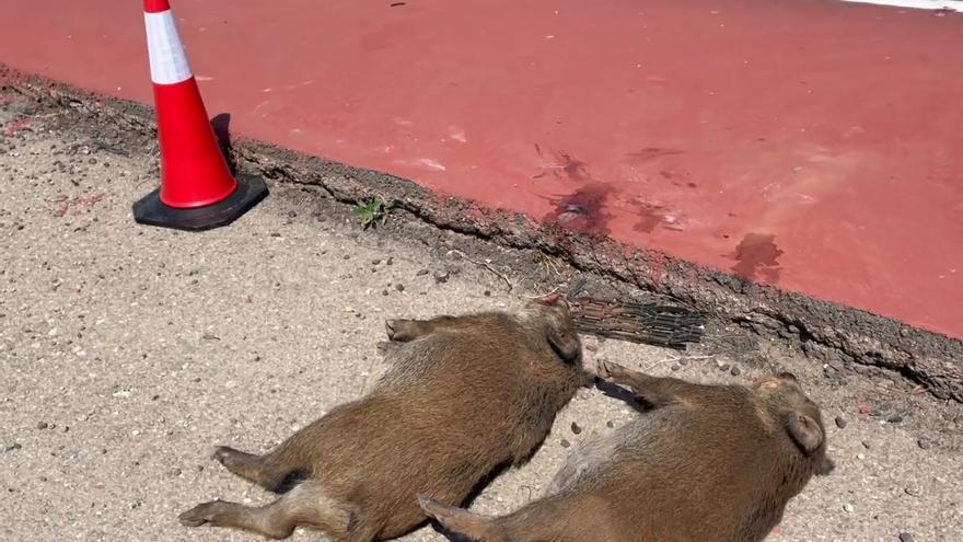 La sobrepoblación de jabalíes amenaza al municipio de Náquera