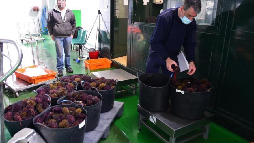 Bueu adelanta el cierre del erizo, con un balance 44.200 kilos y 465.200 euros