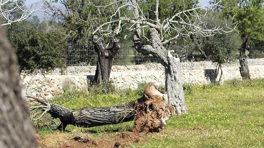 Das Sterben der Mandelbäume auf Mallorca beschleunigt sich