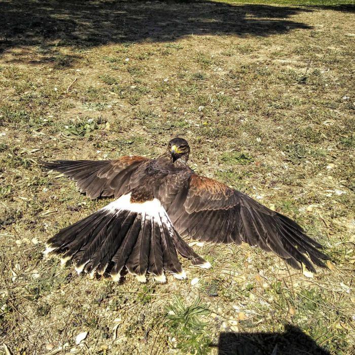 Prenent el sol. La Xakali, un pollet d'àguila de Harris del parc ambiental de Bufalvent, pren el sol de primavera. Són ocells originaris dels deserts de Sud-amèrica.