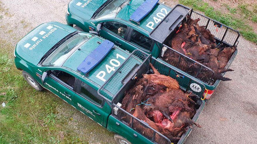Els Agents Rurals comissen 1.940 quilos de carn de senglar que incomplia la normativa de salut pública