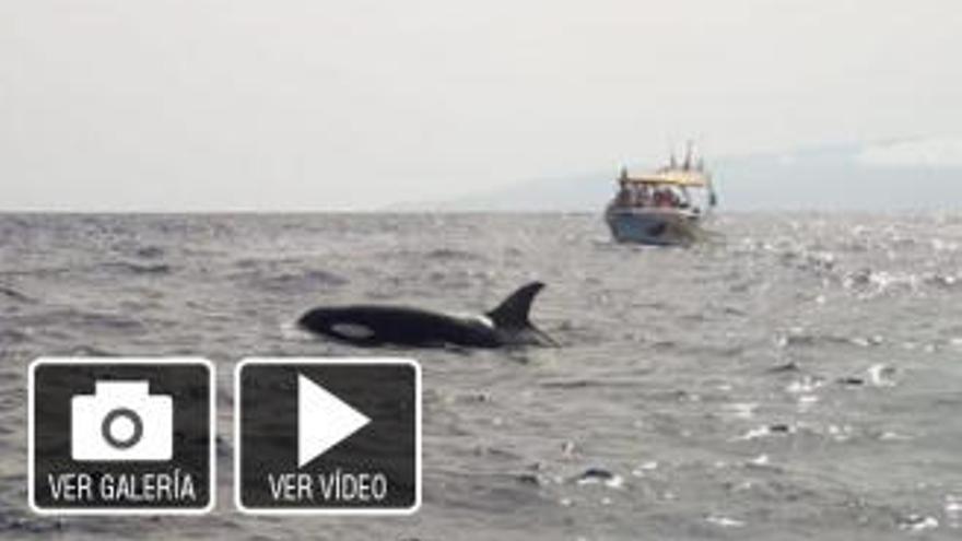 Una decena de orcas devoran a dos calderones delante de barcos de recreo