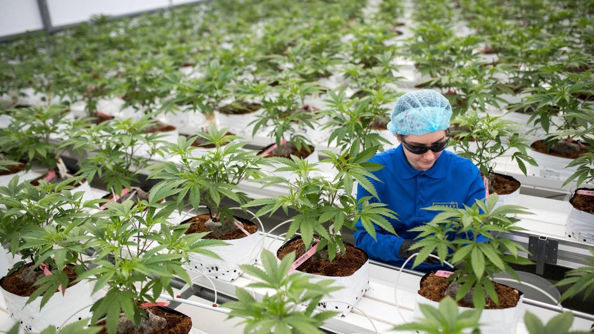 Plantación de cannabis en Canadá