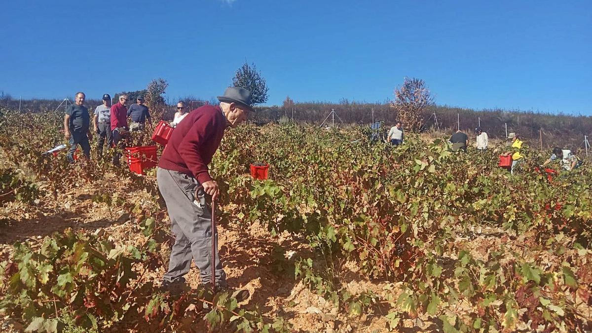 Numeros vecinos de Figueruela de Abajo recogiendo uva en el viñedo de la única bodega del pueblo. | P. S.