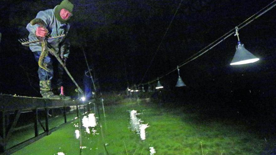 El toque de queda impide la pesca nocturna de lamprea en las estacadas del río Tea