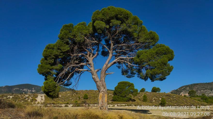 Lorca supervisa el estado de 44 árboles monumentales y 73 singulares