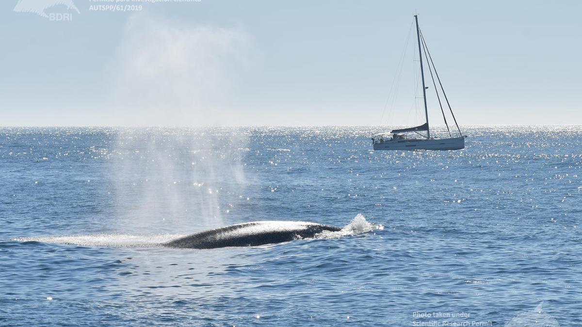 Una de las ballenas azules avistadas ayer en las Rías Baixas.