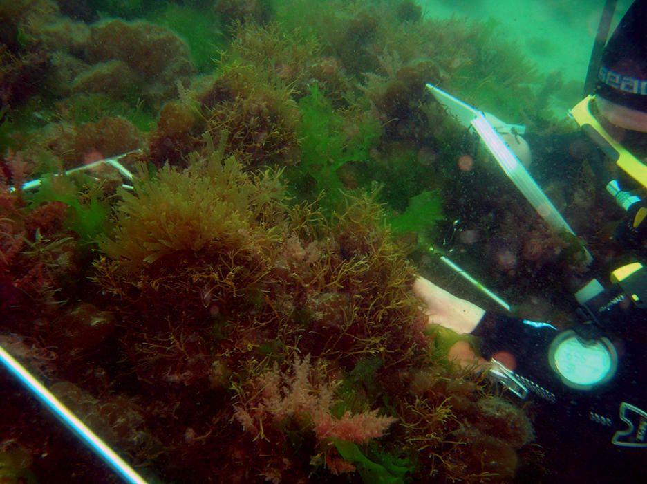 Los investigadores del proyecto Hippoparques avistan en la campaña de primavera 40 ejemplares de caballitos y peces pipa, una cifra superior a la de todo el año pasado