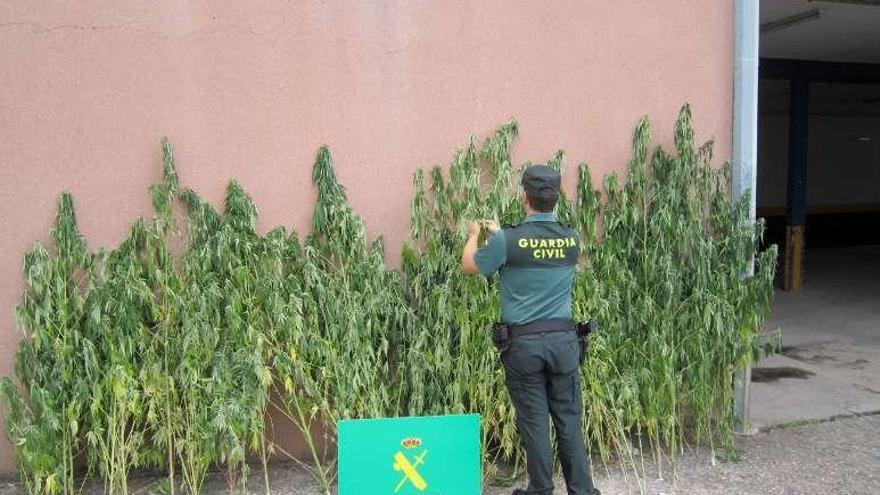 Investigan la conexión entre el dueño de una plantación de marihuana en Verín y un tiroteo