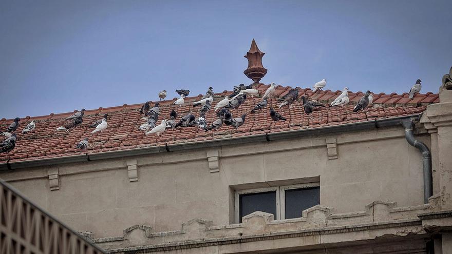 Cort utilizará pienso esterilizante para el control de la población de palomas urbanas