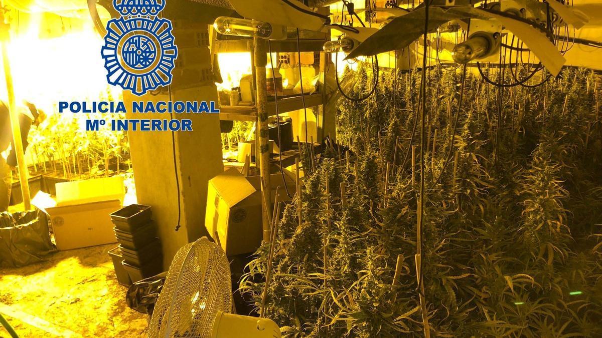 Plantación de marihuana desmantelada por la policía nacional en Calamonte.