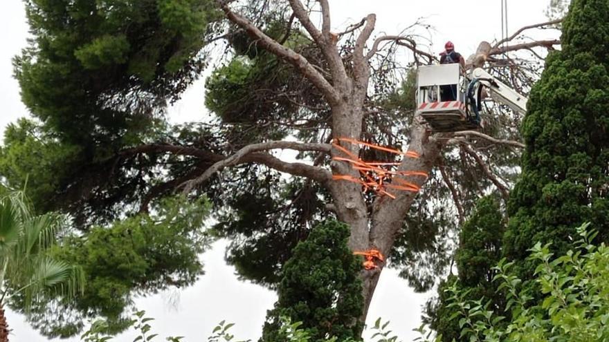 Almenara reabre el cementerio tras talar el pino por peligrosidad
