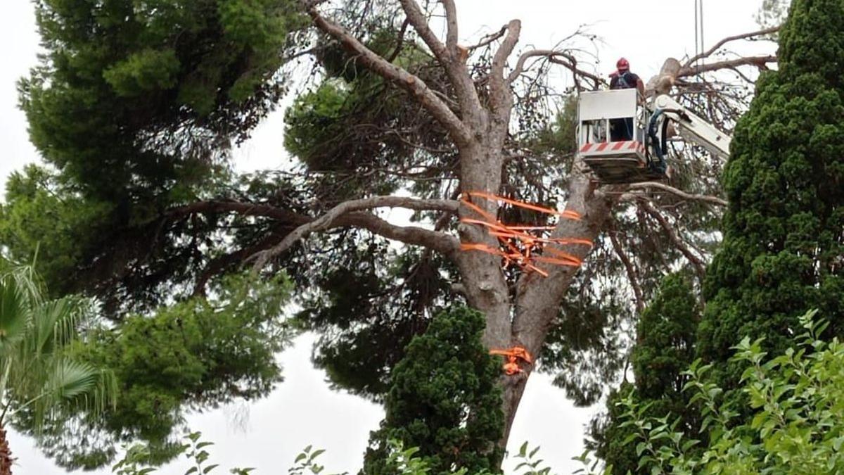 Bomberos del Consorcio talan el pino situado en los accesos al cementerio.