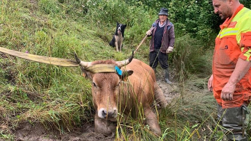 """Así fue el angustioso rescate de """"Navarrica"""": una vaca preñada de más de 500 kilos que cayó a un pozo en Grado"""