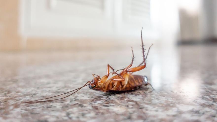 Una cucaracha moviliza a la Policía Local de Vigo