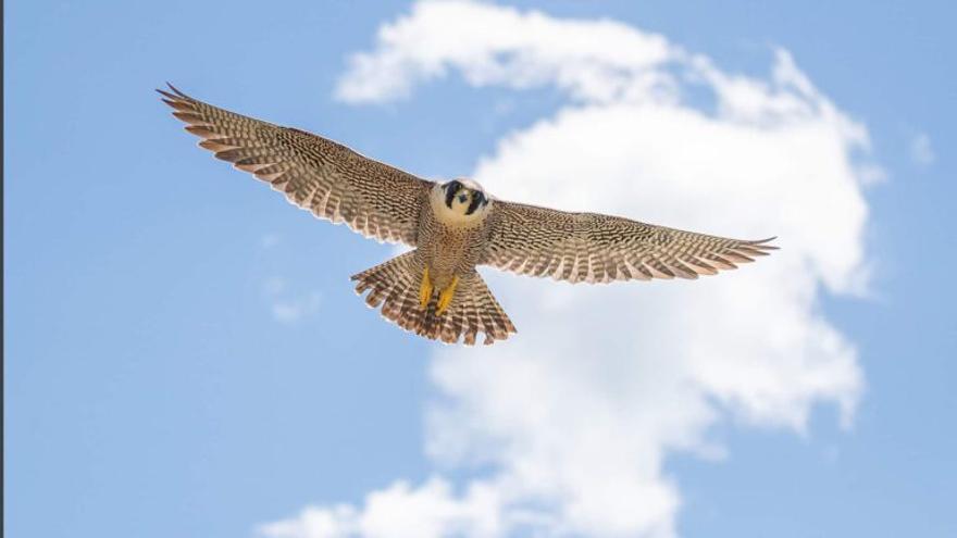 El halcón peregrino: una bala capaz de volar a casi 400 km/h