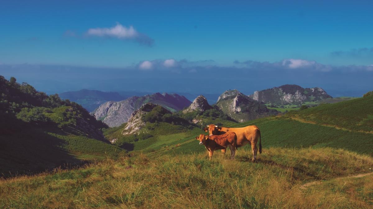 Dos vacas de raza Asturiana de los Valles.