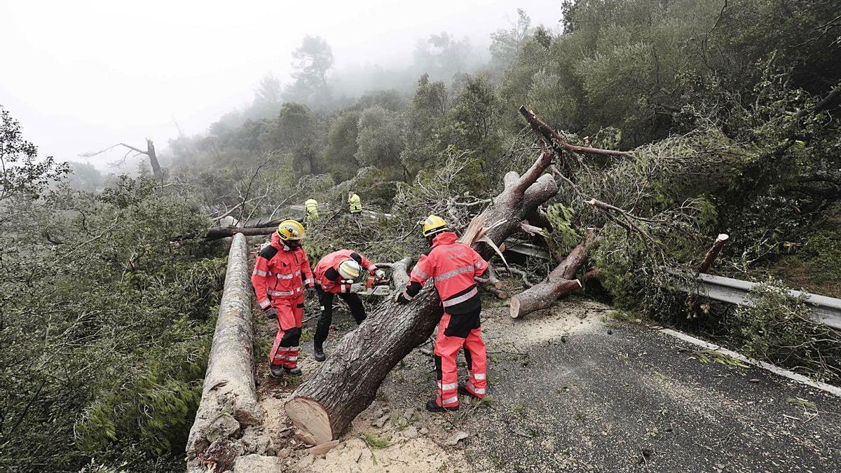 Bomberos trocean un pino derribado por el 'cap de fibló' en agosto de 2020.