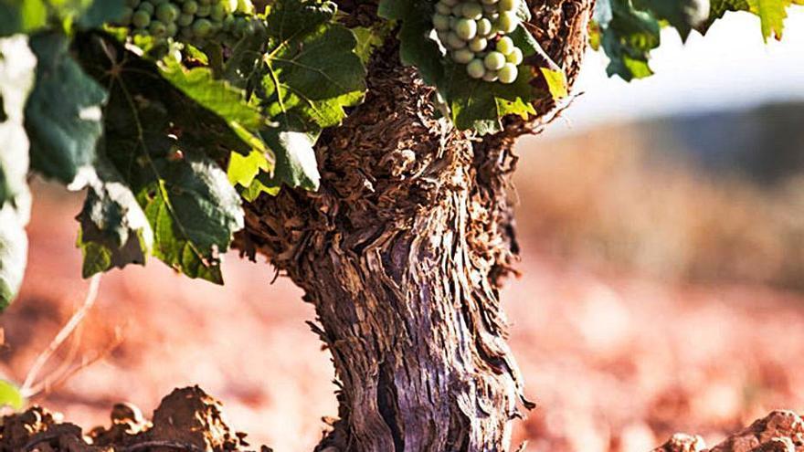 La Unió prevé un descenso del 10 % de la uva para vinificación