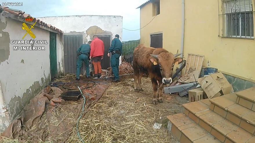 Un detenido en una explotación ganadera de Gozón donde se localizaron varios animales muertos