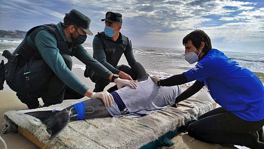 El dofí que va morir a  Cullera patia una malaltia neurològica