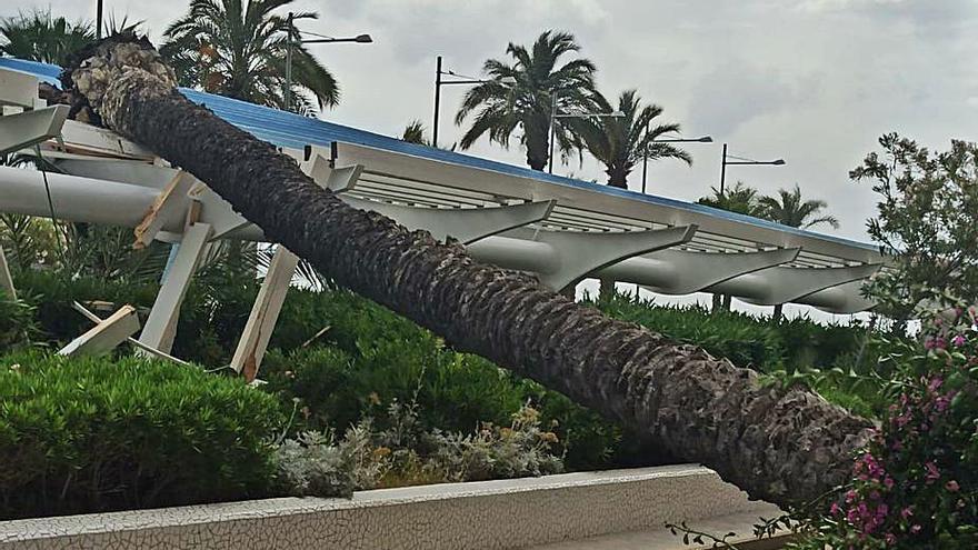 Cs exige revisar las 3.900 palmeras de Torrevieja para evitar accidentes