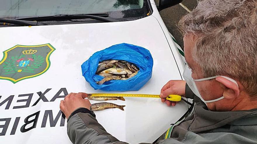 Interceptan a un pescador en Forcarei con 33 truchas por debajo de la talla legal
