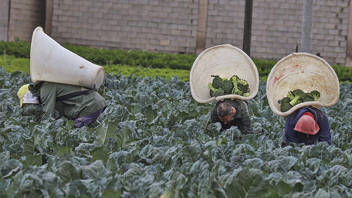 Recolección de brócoli esta misma semana en una plantación del municipio de Orihuela.