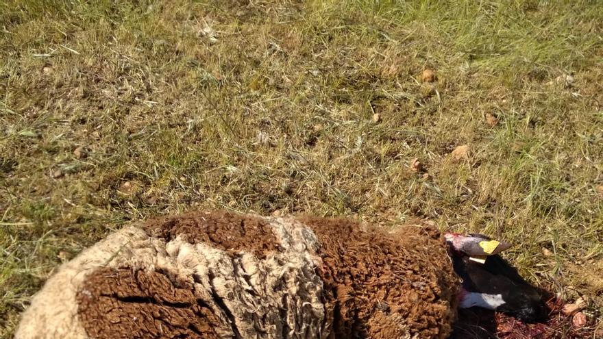 Los lobos vuelven a atacar a una ganadería de Tierra del Vino
