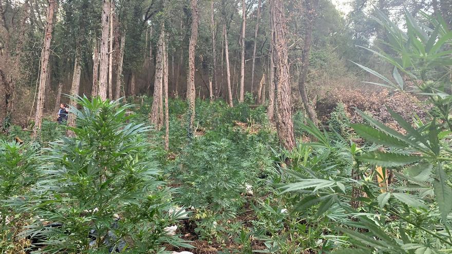 Desmantellen una plantació de 1.050 plantes de marihuana en un bosc de Cercs