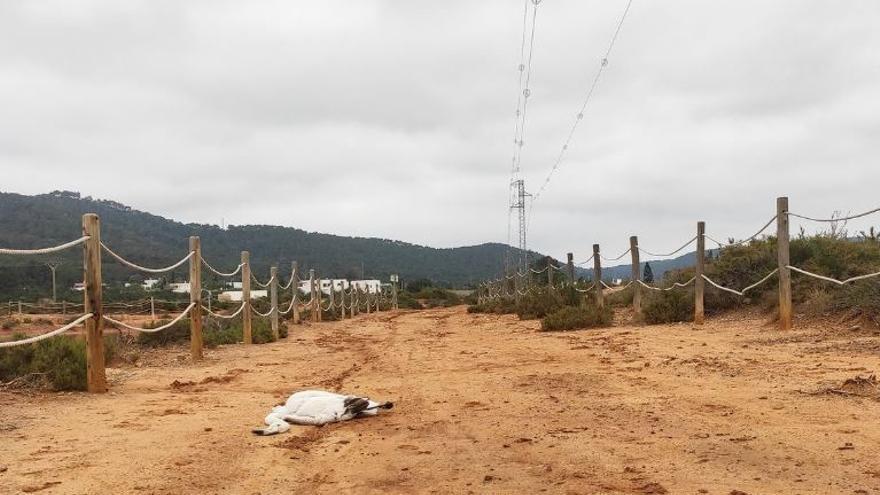 Denuncian la muerte de tres flamencos por los tendidos eléctricos de ses Salines de Ibiza