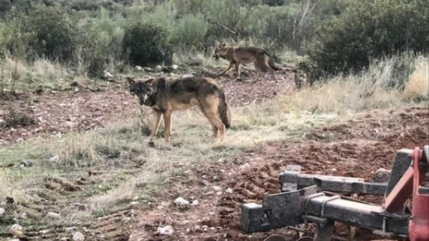 Un lobo persigue a un agricultor de Zamora mientras ara