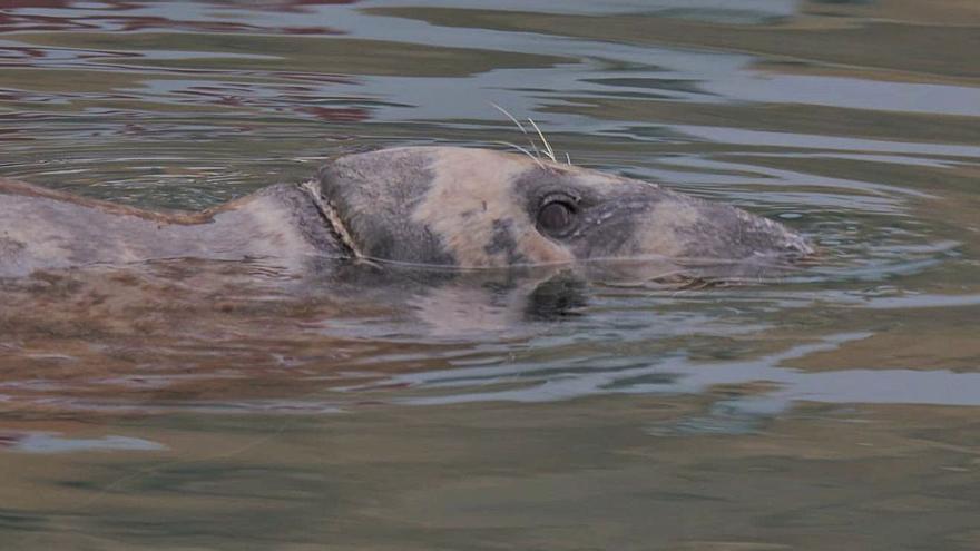 El misteri de la foca grisa que explora la Marina