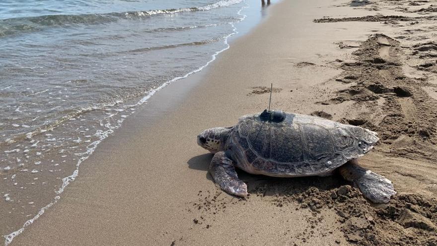 La tortuga 'Voramar' vuelve al mar tras ser capturada por segunda vez de forma accidental