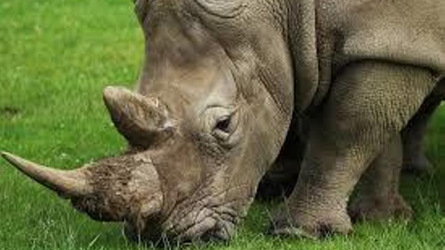 Cada cuerno de rinoceronte vale un millón de euros