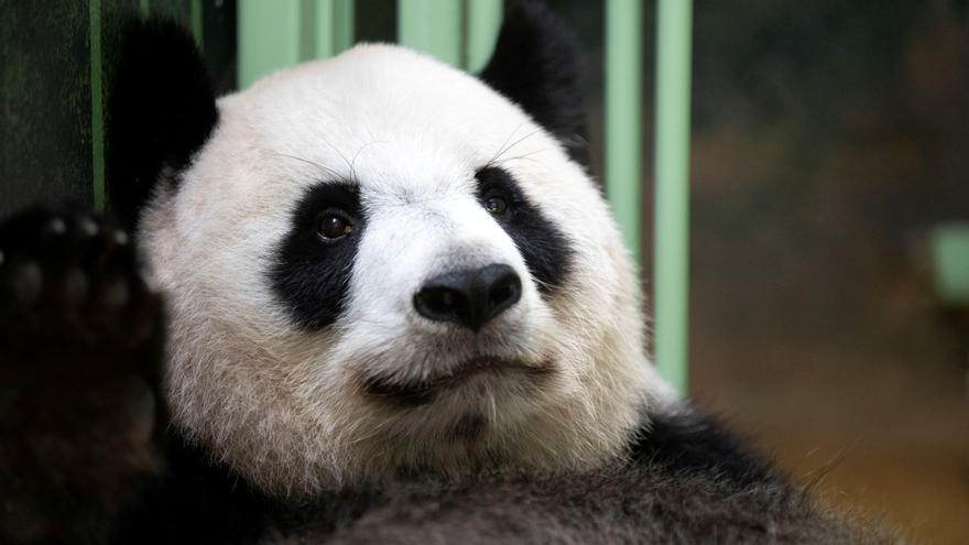 China celebra la salud del oso panda, su gran embajador