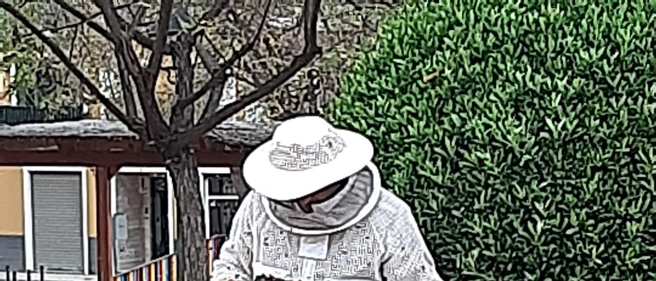 El apicultor retirando el enjambre errante en un parque de Aspe.
