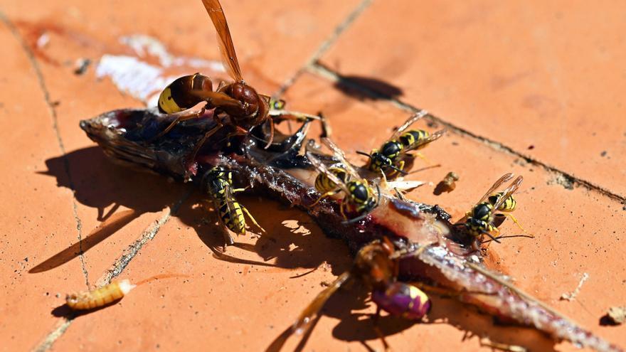 A la caza de la 'vespa orientalis', una avispa exótica detectada en València