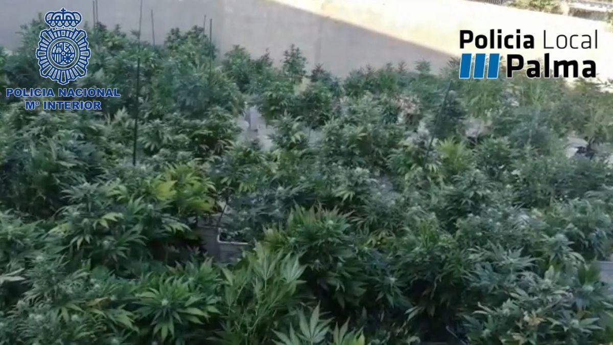 Die beschlagnahmten Pflanzen in La Soletat.