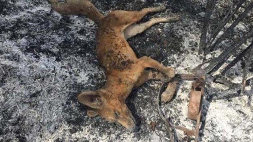 La sobrecogedora imagen de un zorro calcinado por un incendio tras caer en una trampa ilegal