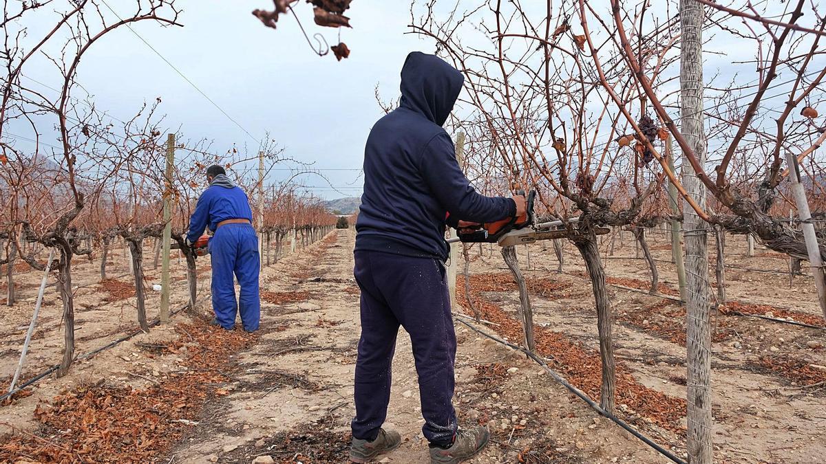 Dos operarios cortando esta semana las parras de uva de mesa embolsada en una finca del paraje Ledua-Monteagud de Novelda.