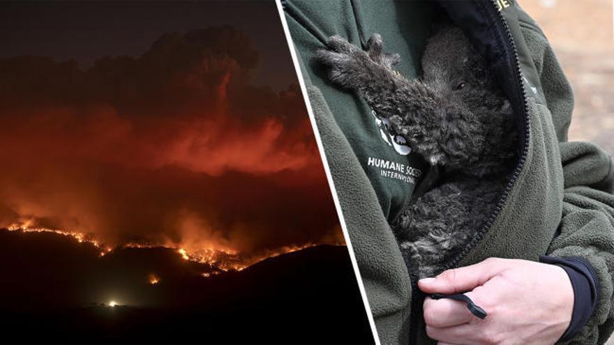 Mil millones de animales sufrieron a causa de la ola de incendios de Australia