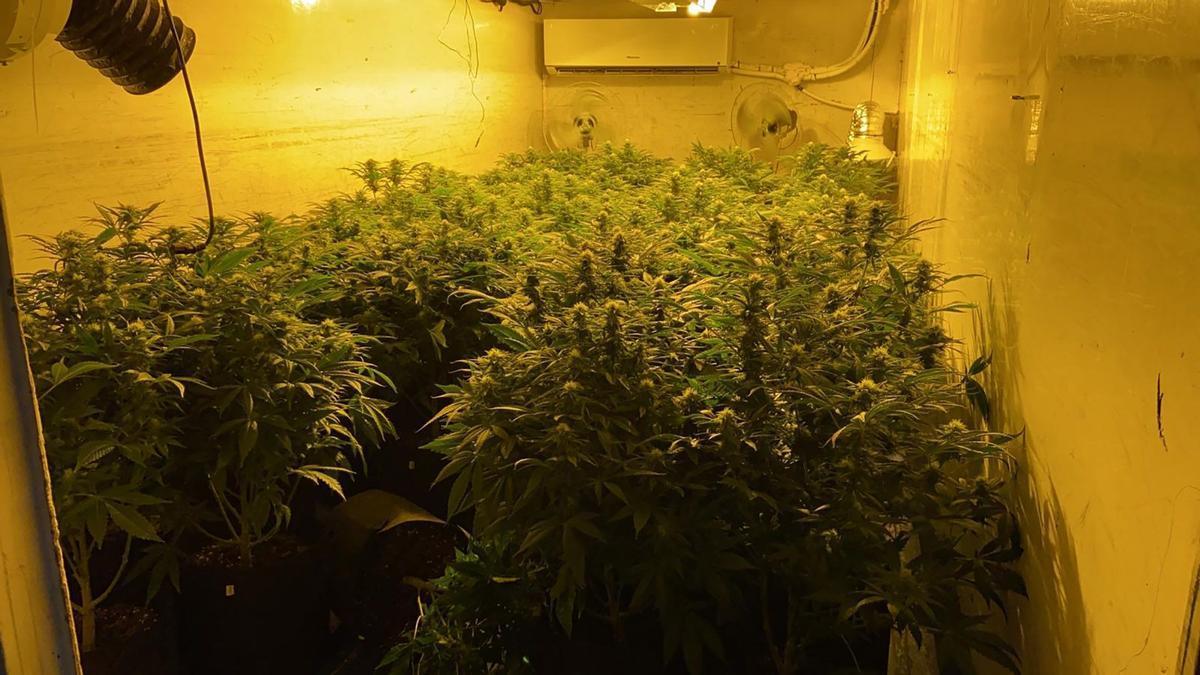 Plantas de marihuana en un espacio artificial para su cultivo