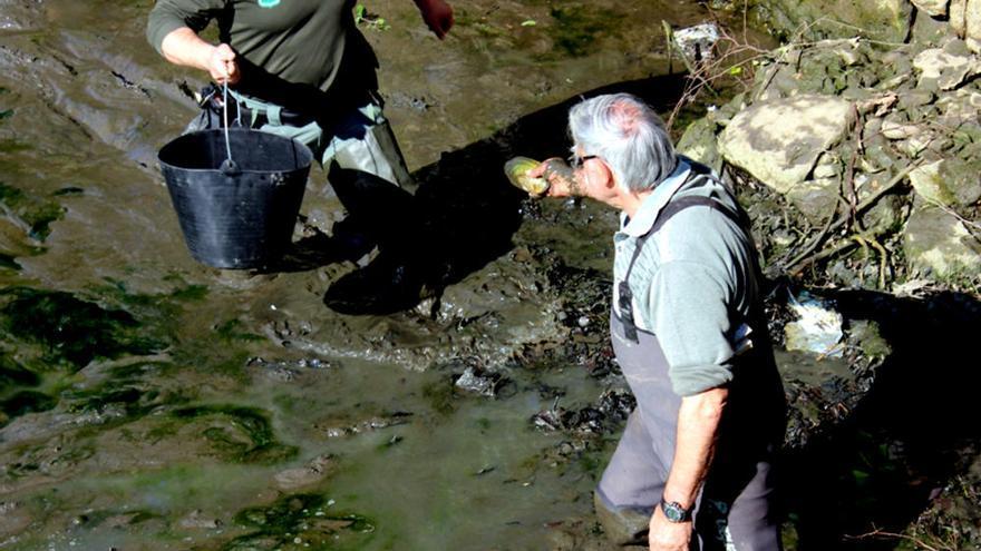Augmenta l'única població de nàiades a la conca de la Tordera
